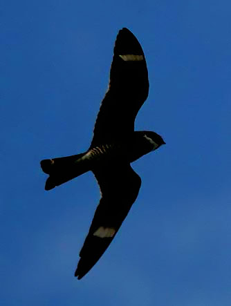Image of nighthawk-flying.jpg